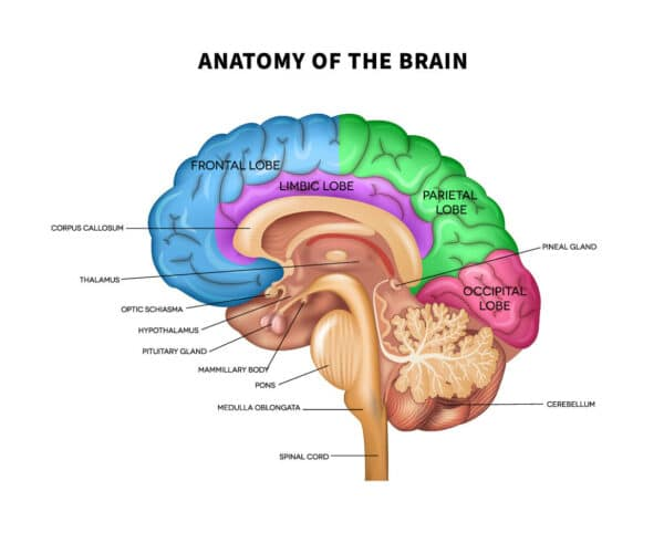anatomy of the brain diagram hypothalamus