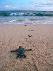 Thermal Conductivity Blog Baby Sea Turtle