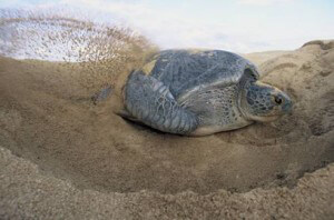 Thermal Conductivity Blog Green Turtle Nesting 300x198